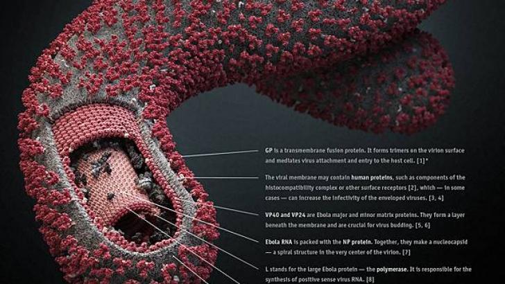Ebola-Virus_6