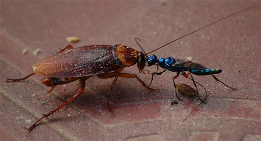 jewel-wasp-cockroach