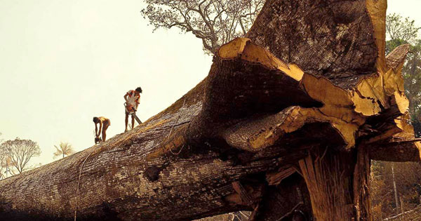 world's oldest tree