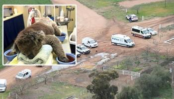 koala rescue in australia