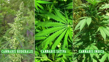 species of marijuana