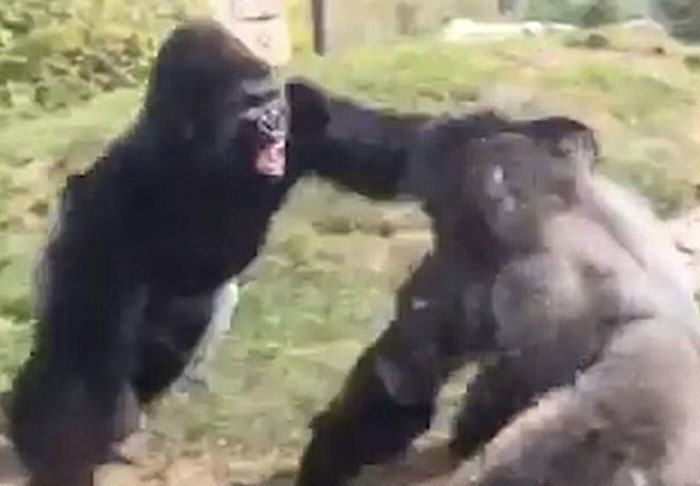 Gorillas Boxing