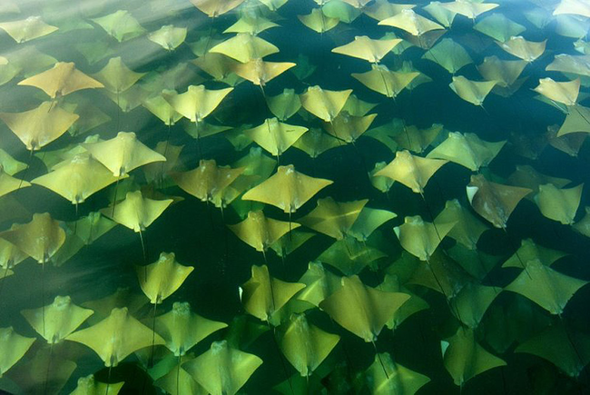 annual migration of stingrays