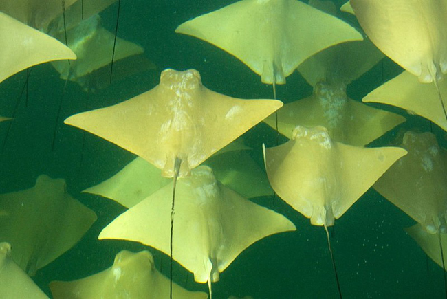 golden stringrays in ocean