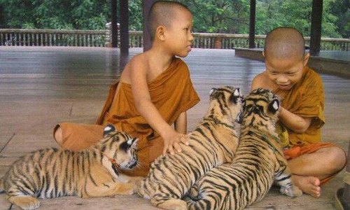 tigers and monks