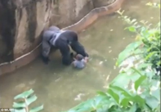 Harambe shot video