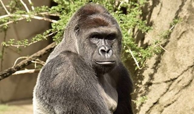 giant gorilla shot dead video