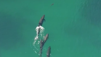 pod of whales attack small shark